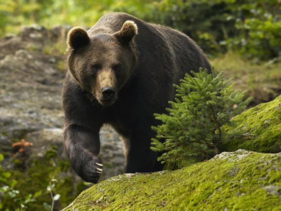 Image of the ALERT article in the Brasov Zoo: two caregivers in serious condition after being attacked by bears