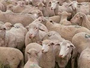 Zeci de oi omorâte de un tir, pe un drum naţional din judeţul Gorj