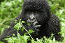 Imaginea articolului Gisela Allen, candidată UKIP, compară atracţia faţă de gorile cu homosexualitatea