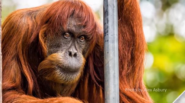 Imaginea articolului Cel mai bătrân urangutan de Sumatra din lume a murit, la vârsta de 62 de ani
