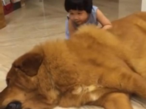 Un clip �n care o fetita se joaca cu mastifful sau tibetan a devenit viral pe YouTube - VIDEO