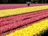 Imaginea articolului Imagini spectaculoase ale câmpurilor cu lalele din Olanda - FOTO, VIDEO