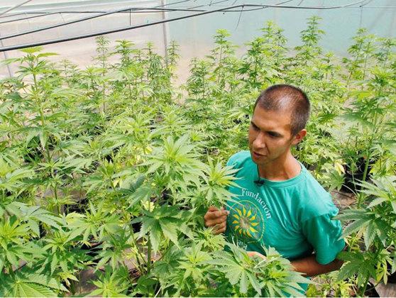 Imaginea articolului A fost inaugurată cea mai mare plantaţie de canabis din America Latină. Se vor cultiva 1,5 tone de MARIJUANA în trei luni - FOTO