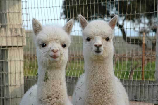 Imaginea articolului Două lame Alpaca păzesc 24.000 de curcani destinaţi sărbătorilor noului an