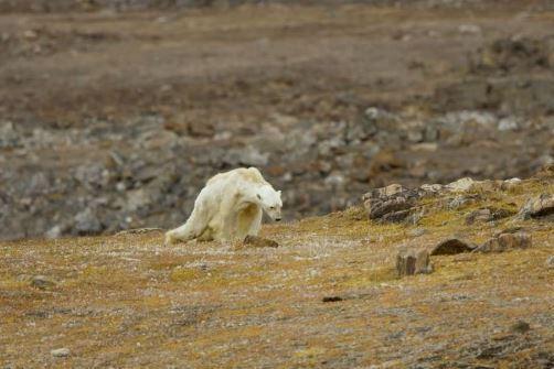 Imaginea articolului VIDEO sfâşietor. Imaginile în care un urs polar moare de foame explică adevăratul impact al încălzirii globale