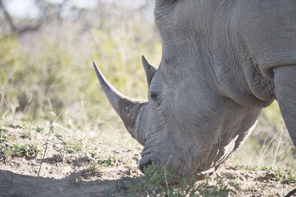 Imaginea articolului Sudan, ultimul mascul de rinocer alb nordic de pe Terra a murit
