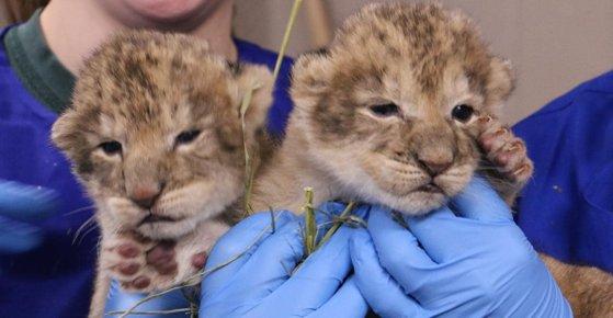 Imaginea articolului Împuşcarea mortală a unui leu scăpat de la o grădină zoo a creat consternare în Belgia