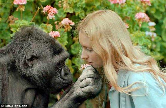 Imaginea articolului Koko, gorila care a învăţat limbajul semnelor, a murit | VIDEO