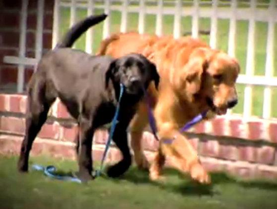 Imaginea articolului PRIETENIE EMOŢIONANTĂ în lumea animalelor: Un câine a devenit ghid pentru prietenul său patruped orb - VIDEO