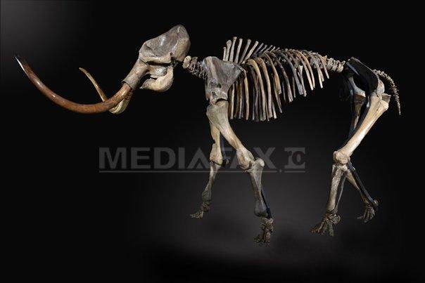 Un schelet de mamut l�nos, v�ndut la licitaţie cu 239.000 de euro