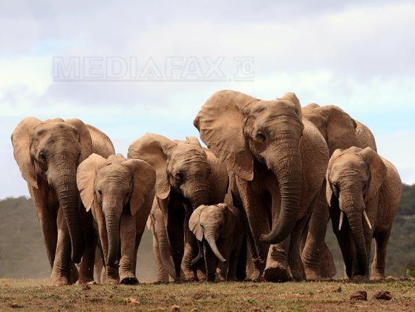 Imaginea articolului 98% din elefanţii din Africa nu mai au colţi de fildeş - VIDEO