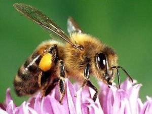 Albinele ştiu să numere până la patru