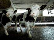"""O afacere care merge """"unsă"""": Cum să câştigi milioane de euro de pe urma vacilor"""