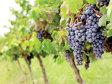 Vinul bulgăresc s-ar putea scumpi din iarnă cu 10-15%