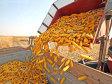 România este pe locul trei în UE la exportul de cereale către pieţele extracomunitare. La porumb este lider