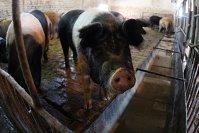 Efectul trecerii Smithfield la acţionari chinezi. Exportul de carne de porc în China, la galop