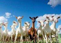 Top 30 cei mai mari crescători de capre. Administratorul unei ferme cu 2.000 de capre: Subvenţia pe cap de animal acoperă hrana pe opt zile