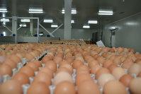 Belgia susţine că autorităţile olandeze au descoperit ouă contaminate încă din noiembrie 2016