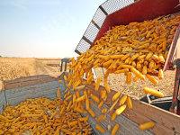 """De ce se înghesuie traderii străini în România? Fermier cu 5.000 de hectare din Arad: """"Cei care nu au spaţii de depozitare se bucură să vândă cu 0,5 lei/kg. Când recoltau, tirurile erau la capăt de parcele"""""""