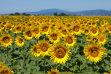 Recolta de floarea-soarelui a României ajunge la un record istoric de 3,16 milioane tone în 2017