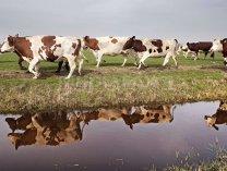O cooperativă din Timiş vinde zilnic 25.000 de litri de lapte fabricilor FrieslandCampina şi Simultan