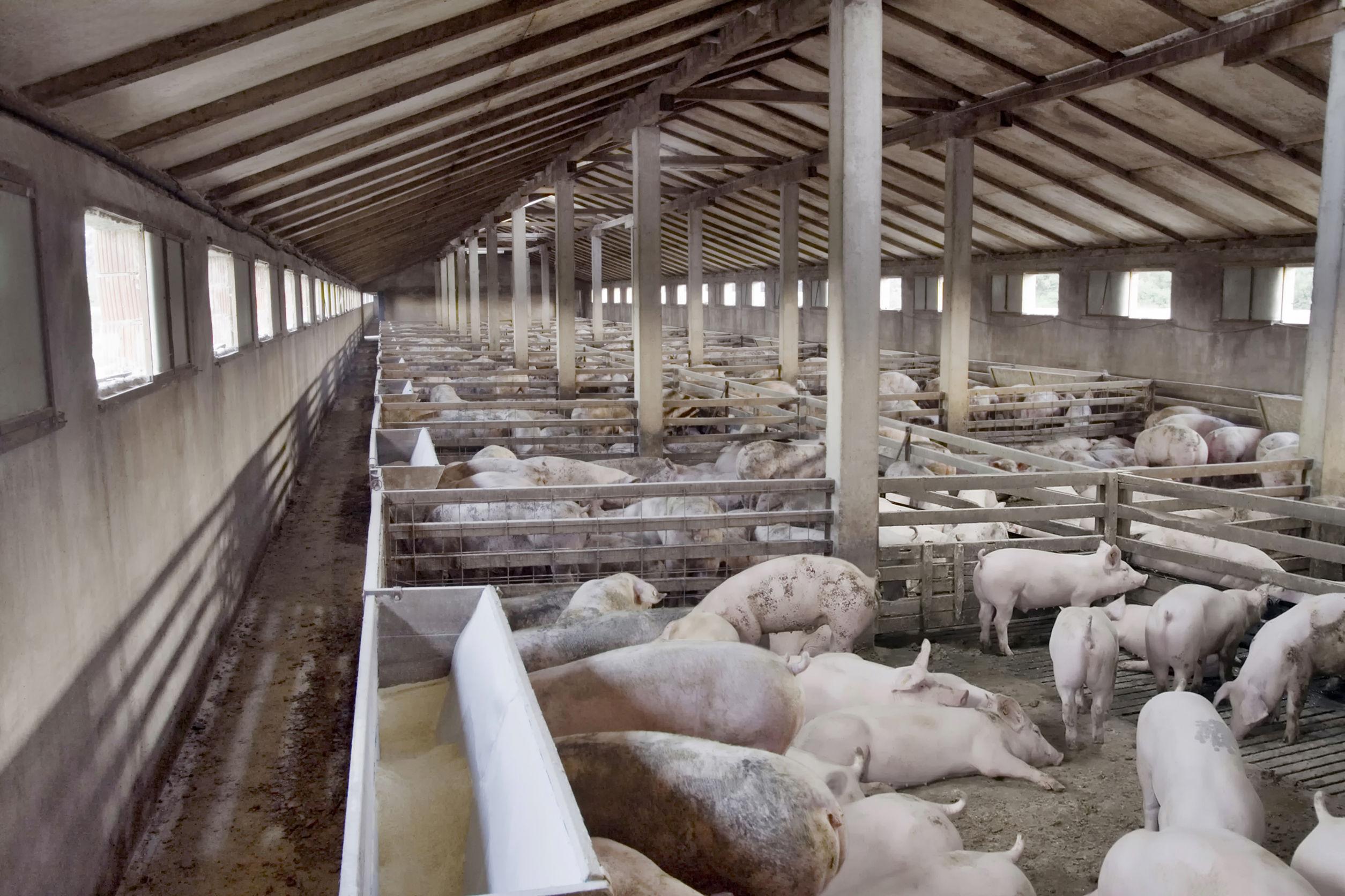 645 de focare de pestă porcină confirmate până la 10 august
