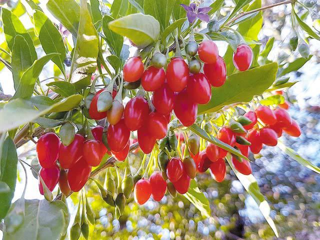 goji fructe de pădure cel mai bun supliment de pierdere în greutate pentru perimenopauză