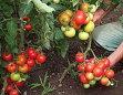 Peste 6.000 de cultivatori de tomate au depus cereri de sprijin financiar la Ministerul Agriculturii