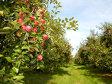 Un pomicultor cu 300 ha de livadă din Bistriţa-Năsăud vinde retailerilor fructe şi sucuri de 1,5 mil. euro