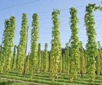 Heineken Hungaria se concentrează pe recolta locală de hamei