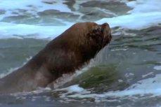 Lupta pentru supravieţuire a unei caracatiţe, prinsă în capcana unui leu de mare. VIDEO