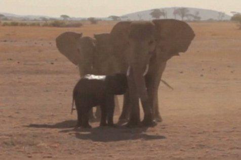 Operaţiune impresionantă pentru salvarea unui pui de elefant - VIDEO