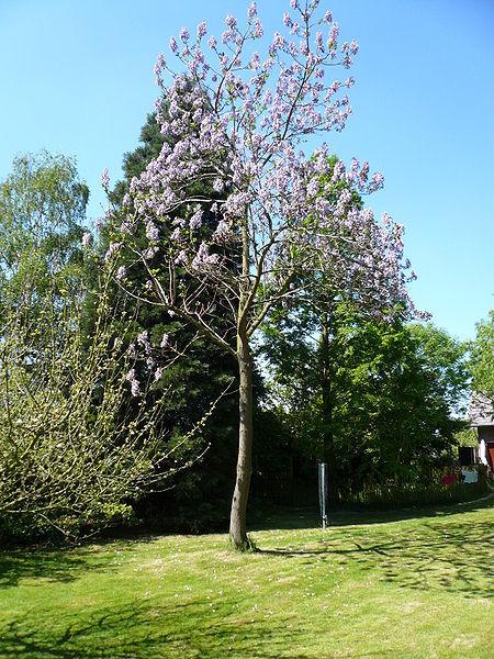 Arborele printesei, o afacere de viitor?