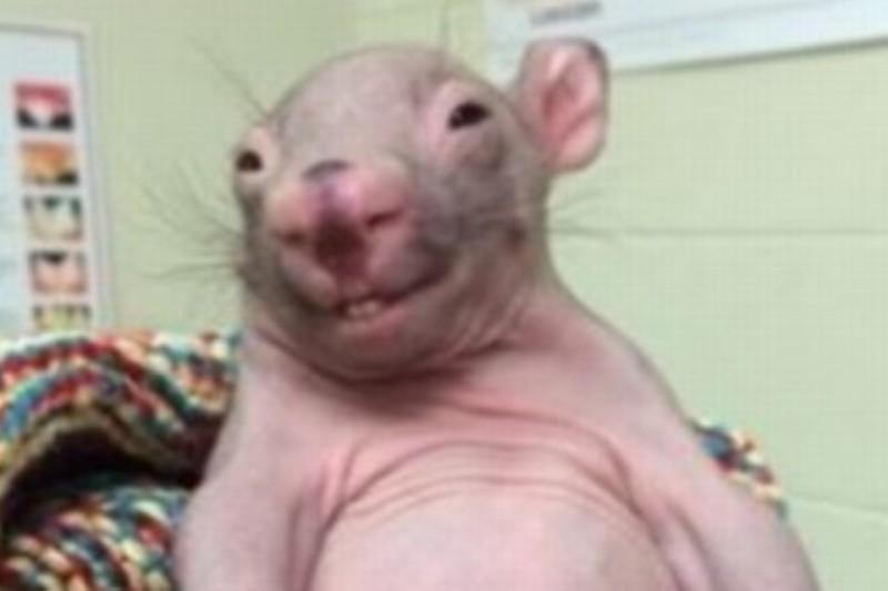 Un pui de wombat a devenit vedetă pe Internet. GALERIE FOTO