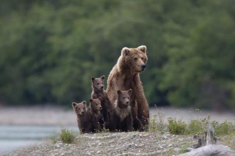 Cum au grijă ursoaicele de puii lor. GALERIE FOTO