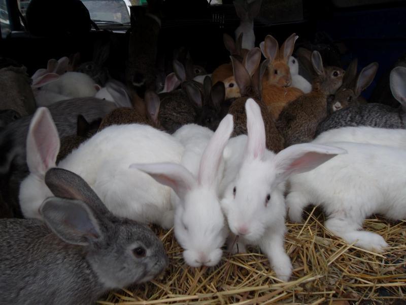 Cum arată Uriaşul de Transilvania, prima rasă românească de iepuri