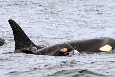 Eşuarea misterioasă a 30 de balene din Alaska