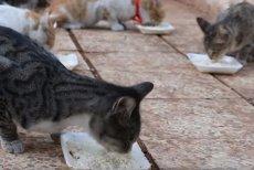 """Un bărbat sfidează bombele din Siria pentru a îngriji pisicile """"refugiate"""":"""