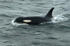Decesul lui J2, cea mai bătrână balenă ucigaşă din lume. O lovitură dată orcilor. VIDEO
