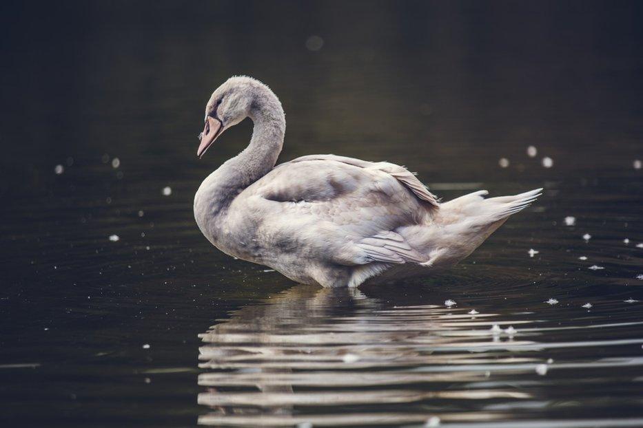 O adevărată lecţie de viaţă oferită de o lebădă oamenilor. Ce face pe marginea lacului. VIDEO
