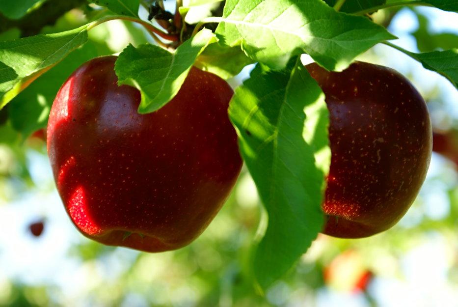 Când sunt culese de fapt merele care se vând în supermarket