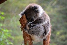 Câţi kilometri a mers un urs koala sub o maşină. Ce l-a alertat pe şofer. FOTO