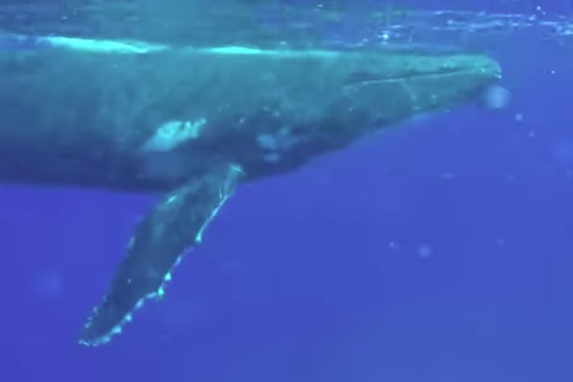 Imagini incredibile surprinse în apele oceanului. Două balene salvează o femeie scafandru de un rechin-tigru