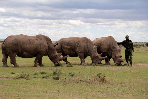 """Sudan, ultimul mascul de rinocer alb, a murit: """"A fost un adevărat ambasador al speciei sale"""""""