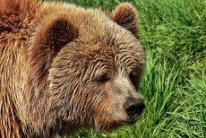 Pierdere de proporţii în lumea animalelor. Un urs brun dintr-o subspecie rară a murit în urma unei încercări eşuate de capturare