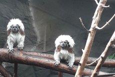 Imagini cu puiul de TAMARIN care s-a născut la Zoo Oradea. Specie pe cale de DISPARIŢIE