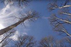 Cel mai mare ORGANISM VIU din lume moare încet, dar sigur, după intervenţia OAMENILOR. Colonia de copaci are o vârstă de 80.000 de ANI