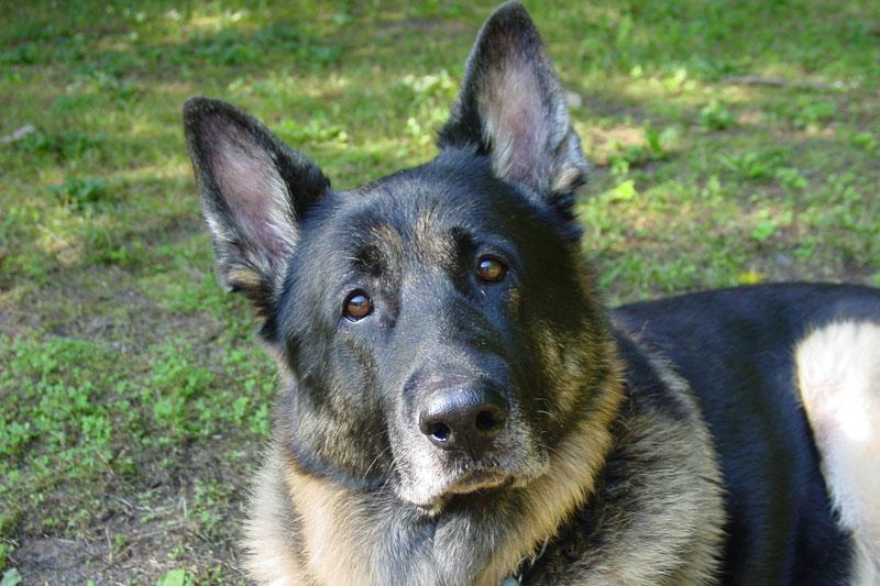 Lala, câinele dat afară din Poliţie pentru că este prea blând