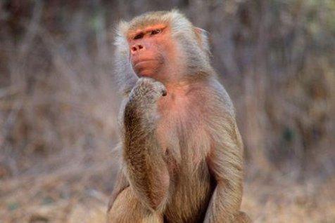 STUDIU. Oamenii au acelaşi număr de neuroni cât au şi babuinii
