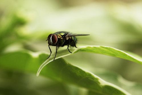 Ce se întâmplă atunci când o muscă se aşază pe mâncarea ta